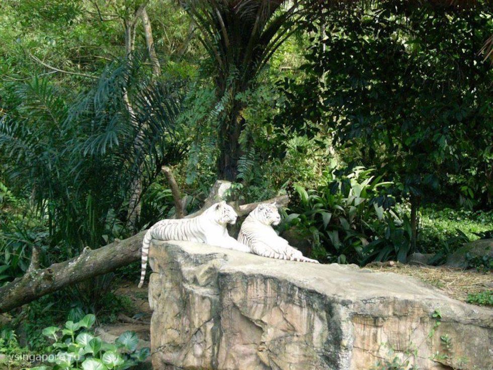 Белые тигры в Сингапурском зоопарке