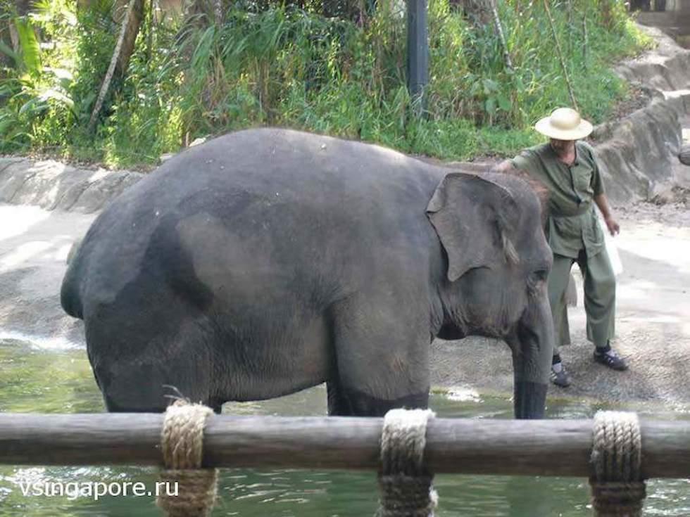 Купание слонов в зоопарке Сингапура