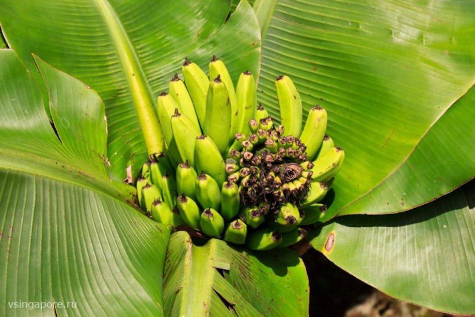 В бананово-лимонном сингапуре - знаменитая строчка упоительного танго магнолия