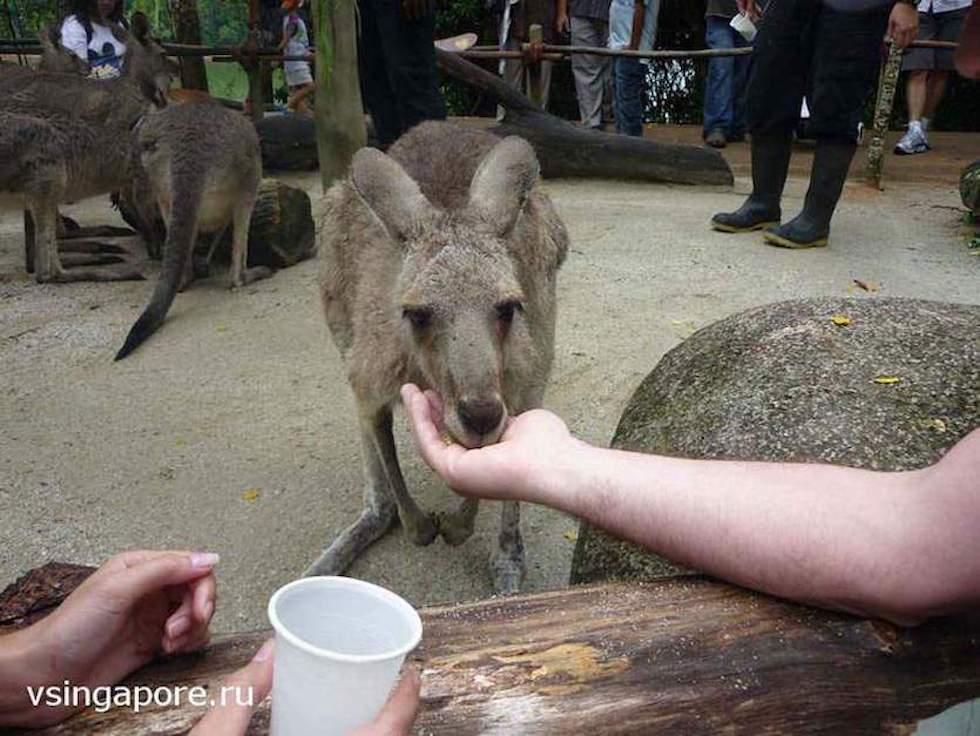 Кормление животных в зоопарке Сингапура