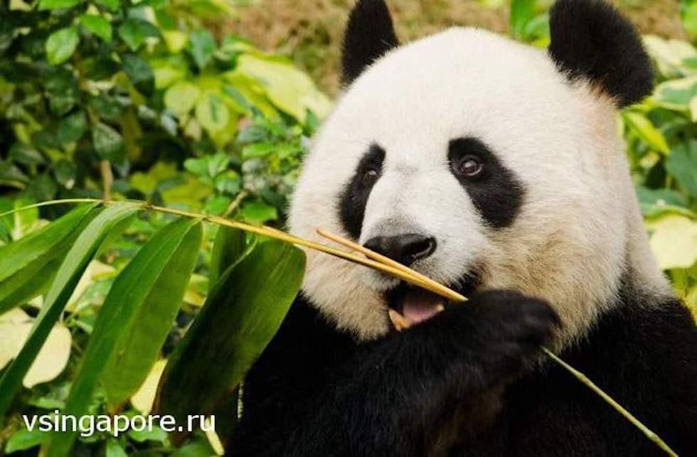 Панды в Сингапуре