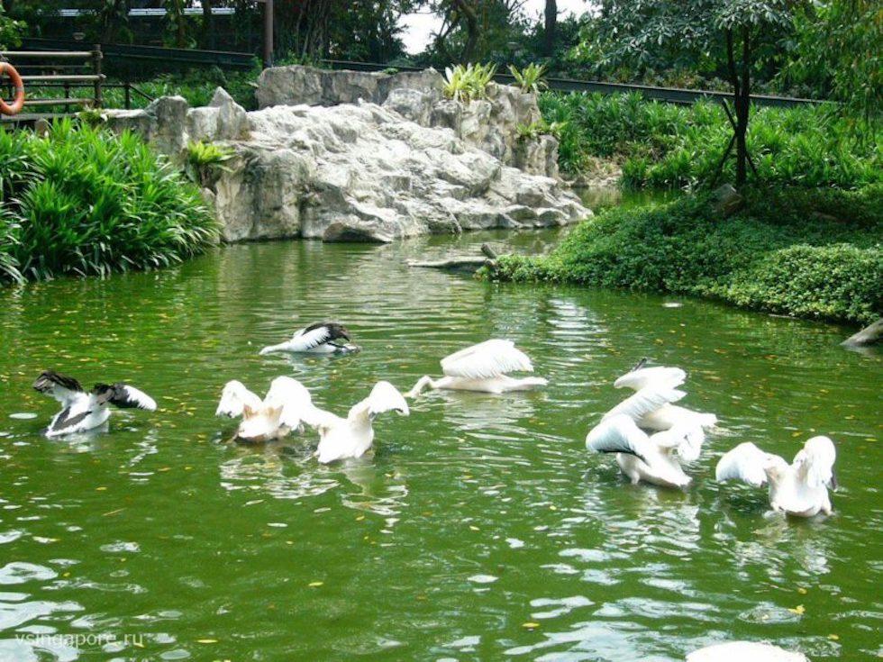 Пеликаны в Парке птиц Сингапура