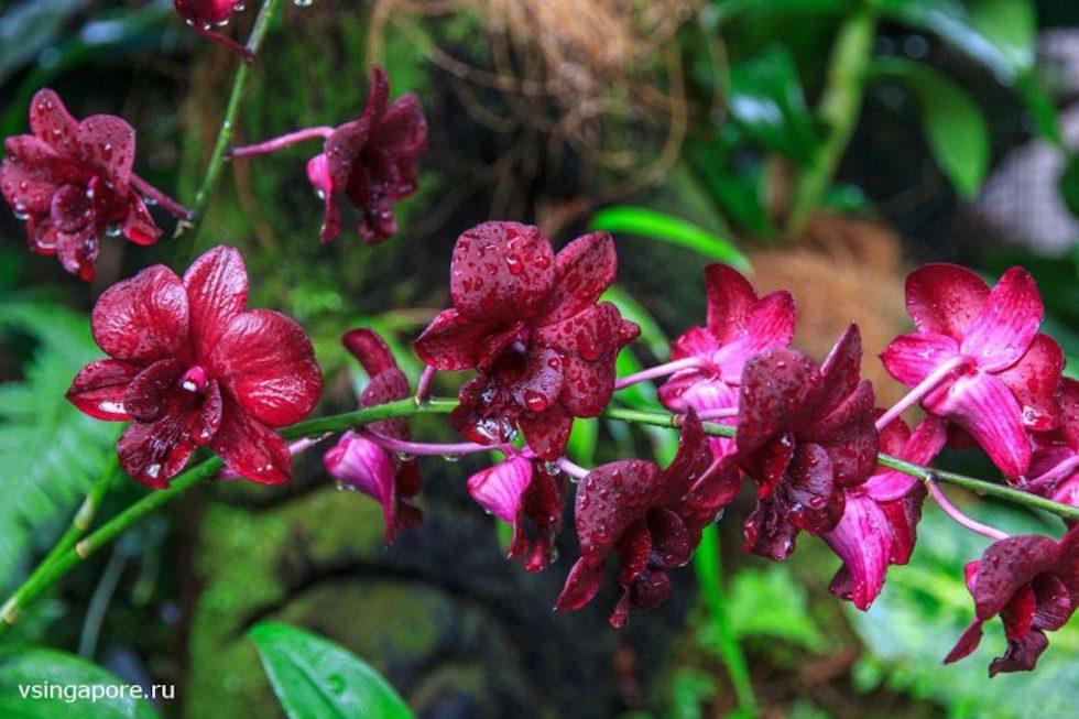 Пурпурная орхидея в Сингапуре